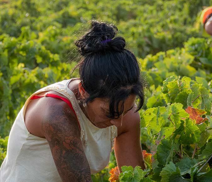 La Vendimia en Viña Caribe de Bodegas Diez Mérito