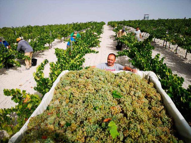 Los primeros Sauvignon Blanc y Chardonnay de Moriles nacen de noche
